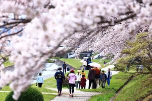 神奈川県 水無川の桜の写真素材 [FYI03006452]
