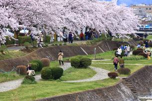 神奈川県 水無川の桜の写真素材 [FYI03006454]