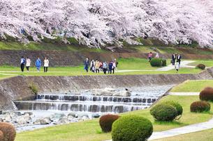 神奈川県 水無川の桜の写真素材 [FYI03006458]
