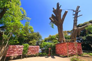 江の島 むすびの樹の写真素材 [FYI03006585]