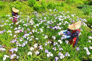 せせらぎ公園の菖蒲園の写真素材 [FYI03006619]