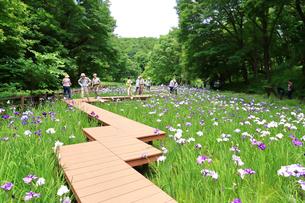 しょうぶ咲く四季の森公園の写真素材 [FYI03006622]