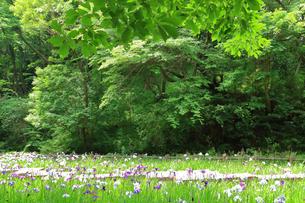 しょうぶ咲く四季の森公園の写真素材 [FYI03006625]