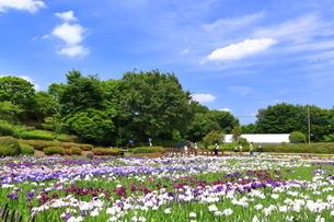 しょうぶ咲く相模原公園の写真素材 [FYI03006628]