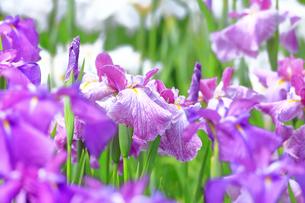 しょうぶ咲く相模原公園の写真素材 [FYI03006633]