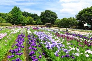 しょうぶ咲く相模原公園の写真素材 [FYI03006639]