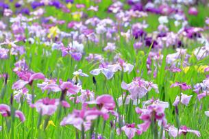 しょうぶ咲く相模原公園の写真素材 [FYI03006640]