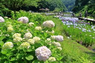 せせらぎ公園の紫陽花と菖蒲の写真素材 [FYI03006647]