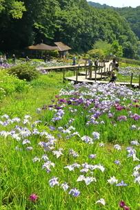せせらぎ公園の菖蒲園の写真素材 [FYI03006649]