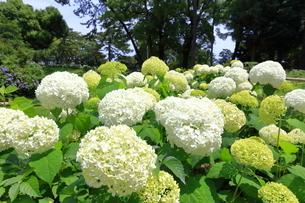 小田原城址公園の紫陽花の写真素材 [FYI03006655]