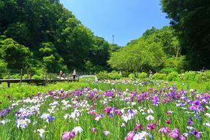 せせらぎ公園の菖蒲園の写真素材 [FYI03006656]