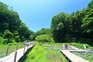 せせらぎ公園の菖蒲園の写真素材 [FYI03006657]