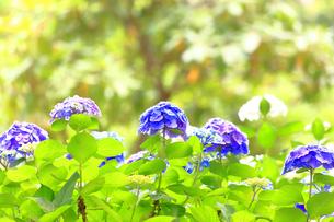 横須賀しょうぶ園の紫陽花の写真素材 [FYI03006665]