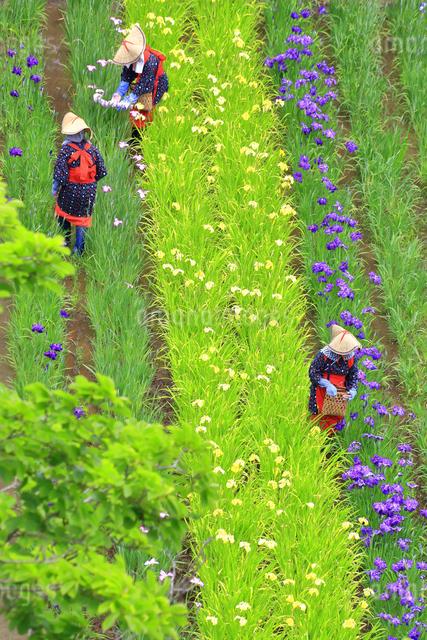 横須賀しょうぶ園の写真素材 [FYI03006667]