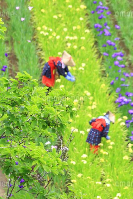 横須賀しょうぶ園の写真素材 [FYI03006669]