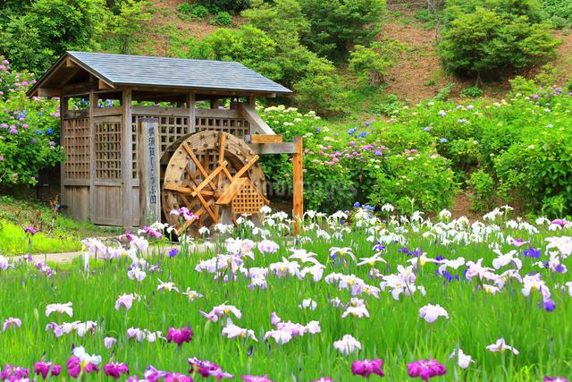 横須賀しょうぶ園の写真素材 [FYI03006682]