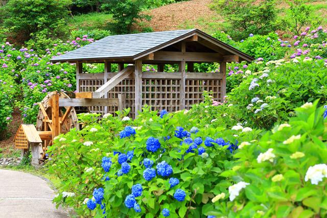 横須賀しょうぶ園の紫陽花の写真素材 [FYI03006683]