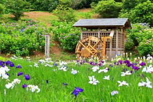 横須賀しょうぶ園の写真素材 [FYI03006688]