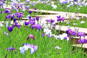 しょうぶ咲く四季の森公園の写真素材 [FYI03006689]