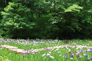 しょうぶ咲く四季の森公園の写真素材 [FYI03006690]
