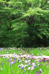 しょうぶ咲く四季の森公園の写真素材 [FYI03006692]