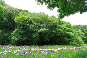 しょうぶ咲く四季の森公園の写真素材 [FYI03006695]