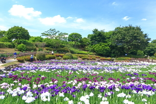しょうぶ咲く相模原公園の写真素材 [FYI03006697]