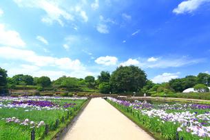 しょうぶ咲く相模原公園の写真素材 [FYI03006699]