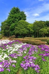 しょうぶ咲く相模原公園の写真素材 [FYI03006700]