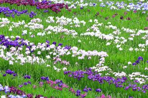 しょうぶ咲く相模原公園の写真素材 [FYI03006704]