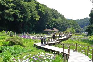 せせらぎ公園の菖蒲園の写真素材 [FYI03006710]