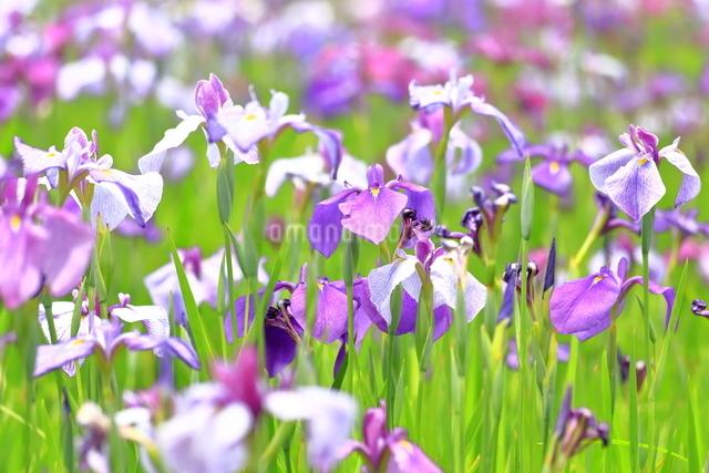 横須賀しょうぶ園の写真素材 [FYI03006719]