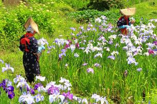 せせらぎ公園の菖蒲園の写真素材 [FYI03006720]