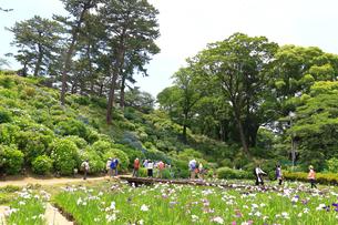 小田原城址公園の菖蒲と紫陽花の写真素材 [FYI03006724]