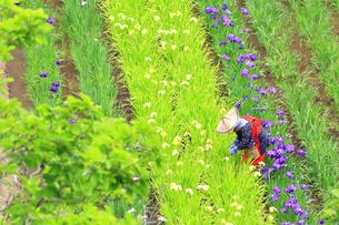 横須賀しょうぶ園の写真素材 [FYI03006729]