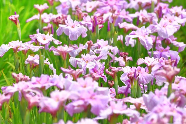 横須賀しょうぶ園の写真素材 [FYI03006732]