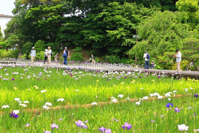 横須賀しょうぶ園の写真素材 [FYI03006739]