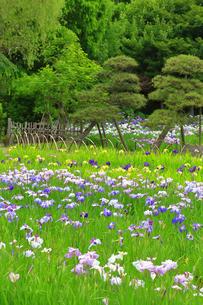 横須賀しょうぶ園の写真素材 [FYI03006744]
