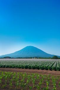 羊蹄山とジャガイモの花の写真素材 [FYI03006745]