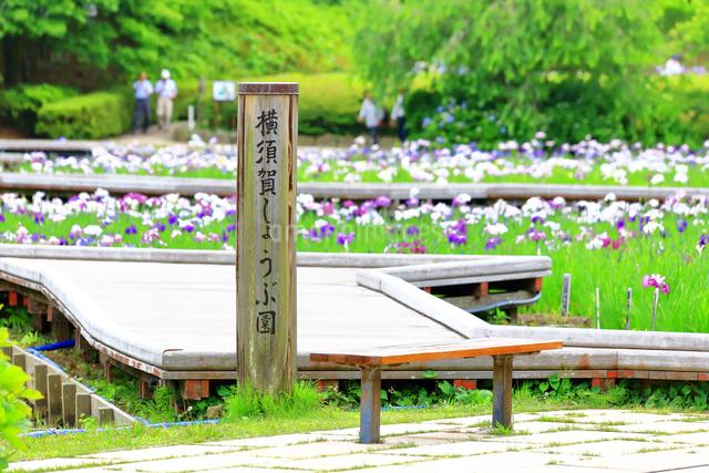 横須賀しょうぶ園の写真素材 [FYI03006747]