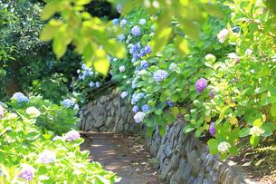 葉山のあじさい公園の写真素材 [FYI03006808]