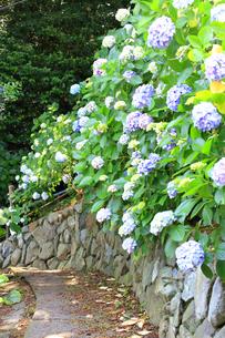 葉山のあじさい公園の写真素材 [FYI03006811]