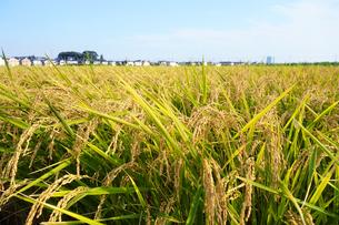 収穫時期の田んぼの写真素材 [FYI03006910]