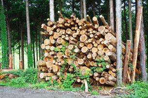 伐採された樹木の写真素材 [FYI03006953]