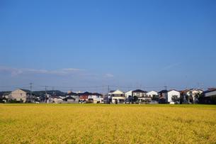 収穫時期の田んぼの写真素材 [FYI03006955]