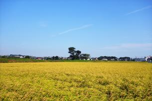 収穫時期の田んぼの写真素材 [FYI03006960]