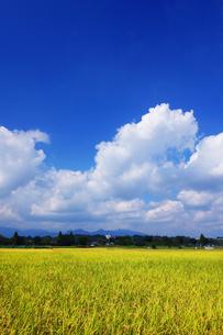 収穫時期の田んぼの写真素材 [FYI03006963]