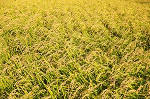 収穫時期の田んぼの写真素材 [FYI03006967]