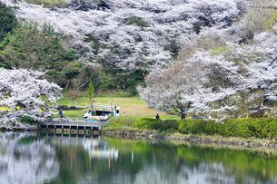 三ツ池公園の桜の写真素材 [FYI03007102]