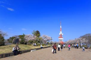 神奈川県 湘南平の桜の写真素材 [FYI03007116]